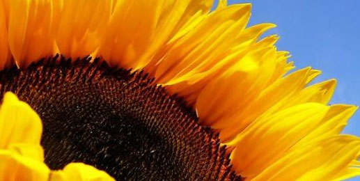 Leinwandbilder Sonnenblume Wandbilder Sonnenblume