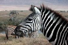 Leinwandbilder Tierwelt in Afrika Wandbilder  Friedliches Zebra in einem afrikanische Nationalpark