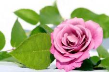 Leinwandbilder Blumen Wandbilder  Pinkrose mit grünen Blättern