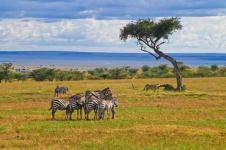 Wandbilder Tierwelt in Afrika Wandbilder  Zebras im Massai Mara Nationalpark Afrika
