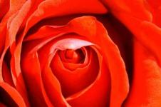 Leinwandbilder Blumen Wandbilder  Rote Rose im Detail
