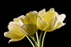 Leinwandbilder Blumen Wandbilder  Tulpenstrauß Tulpen gelb