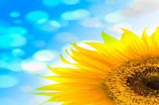 Wandbilder Blumen Wandbilder  Sonnenblume vor blauem Himmel