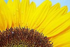 Leinwandbilder Blumen Wandbilder  Wasserperlen auf dem Blütenblatt einer Sonneblume