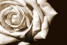 Leinwandbilder Blumen Wandbilder  Weiße Rose auf schwarzem Grund