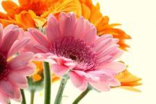 Wandbilder Blumen Wandbilder  Gerbera Blüten in Rosa und Orange