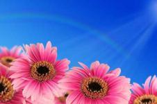 Leinwandbilder Blumen Wandbilder  Gerbera Blüten unter strahlend blauem Himmel