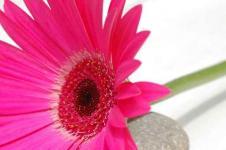 Wandbilder Blumen Wandbilder  Gerbera in kräftigem Pink