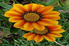 Leinwandbilder Blumen Wandbilder  Sonnenblumen Illistration Blumen Motiv