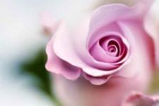 Leinwandbilder Blumen Wandbilder  Die Zärtlichkeit der Rose