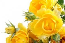 Wandbilder Blumen Wandbilder  Gelber Rosenstrauß
