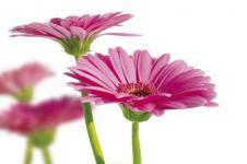 Leinwandbilder Blumen Wandbilder  Frühlingsgerbera