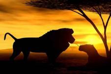 Wandbilder Tierwelt in Afrika Wandbilder  Löwe und Löwin friedlich in der Dämmerung Afrika