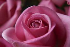 Wandbilder Blumen Wandbilder  Nahaufnahme einer pinkfarbenen Rose