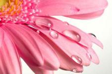 Leinwandbilder Blumen Wandbilder  Tautropfen auf einer Gerberablüte