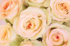 Wandbilder Blumen Wandbilder  Rosen in Pink
