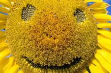 Leinwandbilder Blumen Wandbilder  Smiley als Sonnenblume