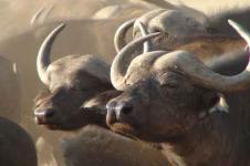 Leinwandbilder Tierwelt in Afrika Wandbilder  Büffelherde am Fluss in Afrika