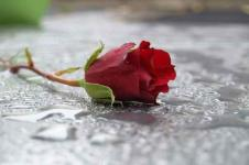 Leinwandbilder Blumen Wandbilder  Verlorene Rose im Regen
