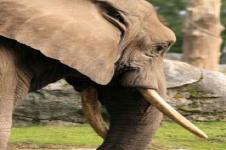 Wandbilder Tierwelt in Afrika Wandbilder  Afrikanischer Elefant
