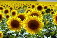 Leinwandbilder Blumen Wandbilder  Sonneblumen auf einem Feld im Sommer
