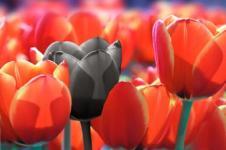 Leinwandbilder Blumen Wandbilder  Rote Tulpen Tulpenstrauß