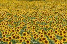 Wandbilder Blumen Wandbilder  Gelbes Blütenmeer