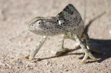 Wandbilder Tierwelt in Afrika Wandbilder  Kameleon in der afrikanischen Wüste
