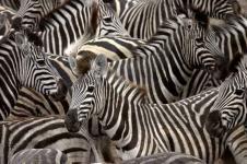 Wandbilder Tierwelt in Afrika Wandbilder  Zerbraherde an einer Wasserstelle in Afrika