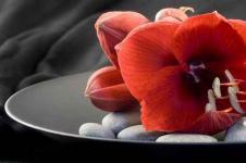 Leinwandbilder Blumen Wandbilder  Rote Amaryllis Blüte auf schwarzem Teller
