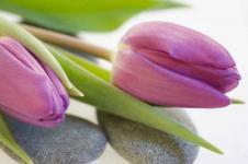 Wandbilder Blumen Wandbilder  Violette Tulpen dekorativ