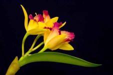 Wandbilder Blumen Wandbilder  Gelber Orchideenzweig auf Schwarz
