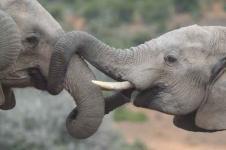 Wandbilder Tierwelt in Afrika Wandbilder  Zwei Elefanten raufen miteinander
