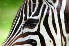 Leinwandbilder Tierwelt in Afrika Wandbilder  Zebra im Profil Afrika Bilder
