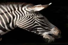 Wandbilder Tierwelt in Afrika Wandbilder  Afrikanisches Zebra Nahaufnahme