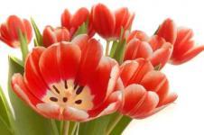Leinwandbilder Blumen Wandbilder  Offene Tulpenblüten in einer Vase
