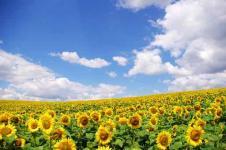 Wandbilder Blumen Wandbilder  Sonnenblumenfeld vor blauem Himmel
